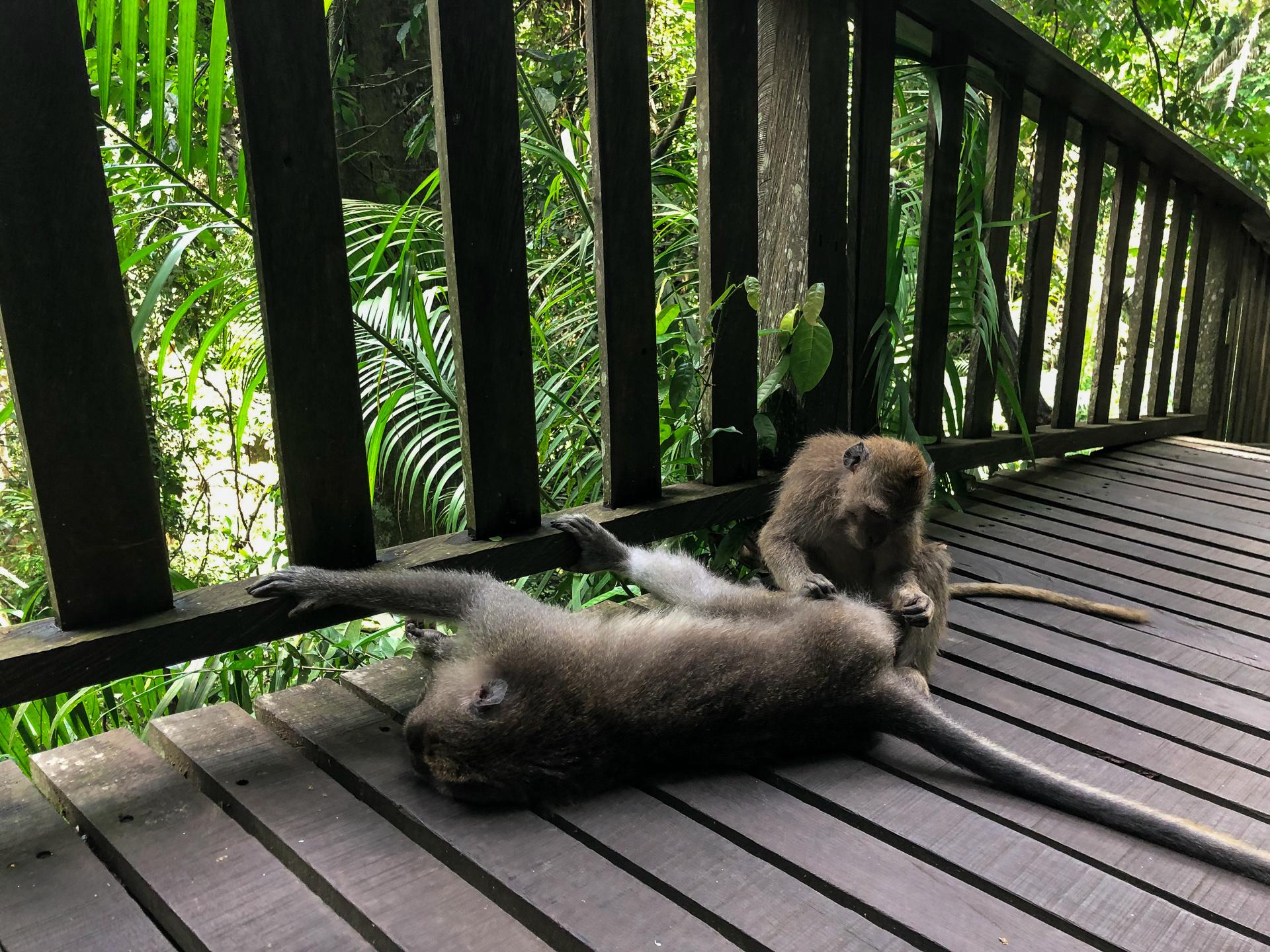 Aber i Ubud Monkey Forest